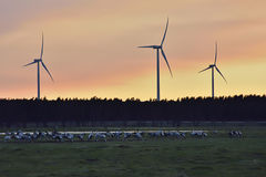 Common Cranes arriving to Sweden Stock Photography