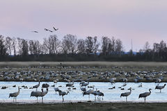 Common Cranes arriving to Sweden Royalty Free Stock Image