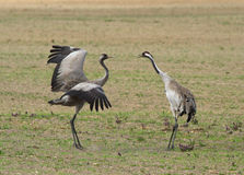 Common cranes. On the field Stock Photography