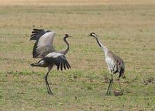 Common cranes Stock Photography