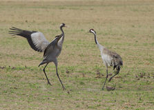Common cranes. On the field Stock Images