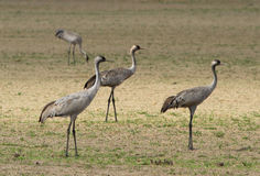 Common cranes. On the field Royalty Free Stock Images