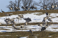 Common Cranes on field with snow Stock Image