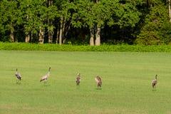 Common cranes Royalty Free Stock Image