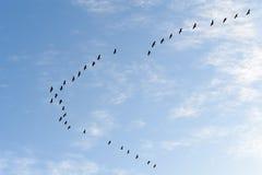 Common cranes in flight Royalty Free Stock Image