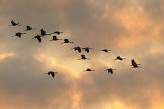 Common cranes in flight Royalty Free Stock Image