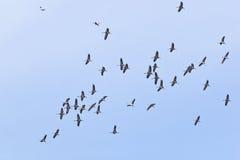 Common cranes flying Stock Photos