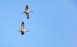 Common Cranes Stock Photography