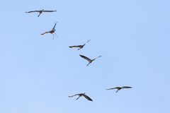 Common Cranes Royalty Free Stock Photos