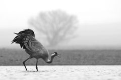 Common Cranes. Grus grus. Stock Photography