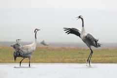 Common Cranes. Grus grus. Royalty Free Stock Photo