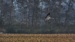 Common Cranes (Grus Grus) landing in a field. Group of migrating Common Cranes or Eurasian Cranes (Grus Grus) bird landing in a field during an autumn day stock video footage