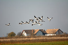 Common cranes (Grus grus) Stock Photography