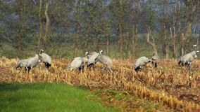 Common Cranes (Grus Grus) standing in a field. Group of migrating Common Cranes or Eurasian Cranes (Grus Grus) bird standing in a field during an autumn day stock video footage