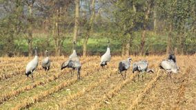 Common Cranes (Grus Grus) standing in a field. Group of migrating Common Cranes or Eurasian Cranes (Grus Grus) bird standing in a field during an autumn day stock footage
