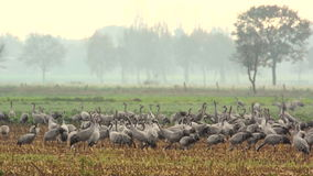 Common Cranes (Grus Grus) standing in a field. Group of migrating Common Cranes or Eurasian Cranes (Grus Grus) bird standing in a field during an autumn day stock video