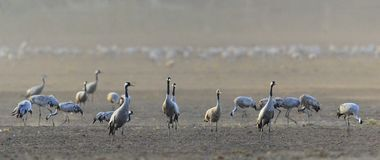 Common cranes Grus grus standing on the foraging field. Early morning. Wind and dust. Common cranes Grus grus standing on the foraging field.  Early morning Stock Images