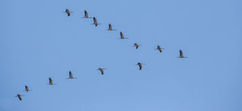 Common Cranes on migration. A reduced flock of Common Cranes (Grus grus) takes it's way to southern Europe in a characteristic formation where they may decide to Royalty Free Stock Photos