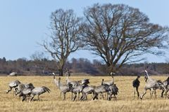 Common Cranes in spring Royalty Free Stock Images