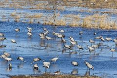 Common Cranes standin in lake Stock Images