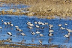 Common Cranes standin in lake Royalty Free Stock Photos