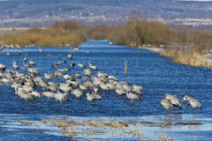 Common Cranes standin in lake Stock Photos