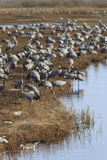 Common Cranes on field at the lake Royalty Free Stock Photography