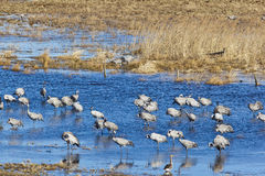 Common Cranes standing in water Stock Photo