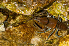 Common Crayfish Stock Photography