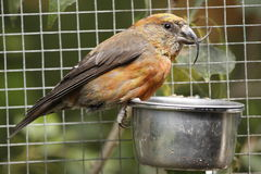 Common Crossbill Royalty Free Stock Image