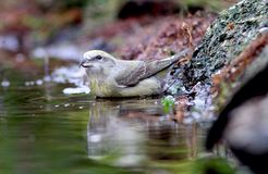 Common crossbill Royalty Free Stock Photos