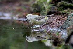 Common crossbill Royalty Free Stock Photography