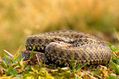Common crossed adder basking Royalty Free Stock Photo