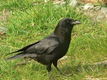 Common crow. A Crow enjoying a day at the park stock photos