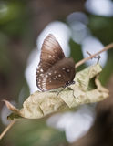 Common Crow butterfly Euploea Cora Stock Photos