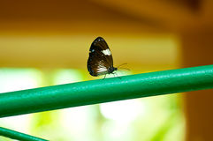 Common crow butterfly on a green pole Royalty Free Stock Photos