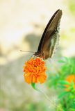 Common Crow Butterfly on Marigold Stock Image