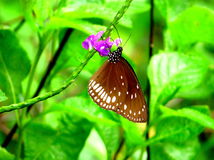 Common crow Butterfly Royalty Free Stock Images