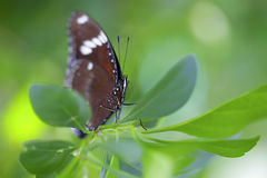 Common Crow Butterfly Royalty Free Stock Photos