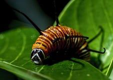 Common crow caterpillar Euploea core Stock Photography
