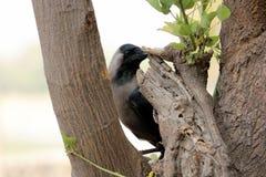 Common Crow & x28; corvus spiendens& x29; stock images