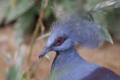 Common Crowned Pigeon Royalty Free Stock Photo