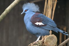 Common crowned pigeon Stock Images
