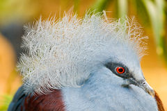 Common Crowned Pigeon. A victoria crowned pigeon close up shot stock photos