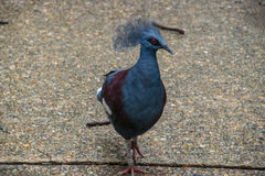 Common-Crowned Pigeon in Thai Zoo. This Bird has been taken photograph on Bird Island, Dusit Zoo, Thailand Royalty Free Stock Photography
