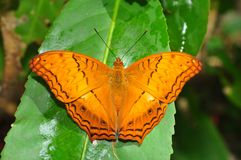 Common Cruiser butterfly. Of Thailand background Royalty Free Stock Photography