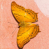 The common cruiser butterfly Royalty Free Stock Images