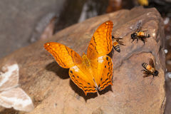 Common cruiser butterfly eatting mineral Stock Photos