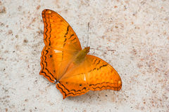 Common Cruiser butterfly Stock Photo