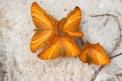 Common Cruiser butterfly Royalty Free Stock Photos